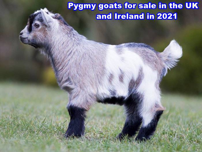Pygmy goats for sale in the UK and Ireland in 2021
