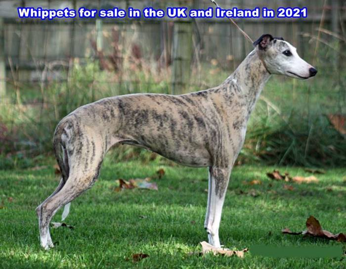 Whippets for sale in the UK and Ireland in 2021